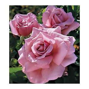 Memorial Day Hybrid Tea Rose: Patio, Lawn & Garden