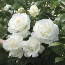 Sugar Moon Hybrid Tea Rose Bush PREORDER SHIPS IN SPRING