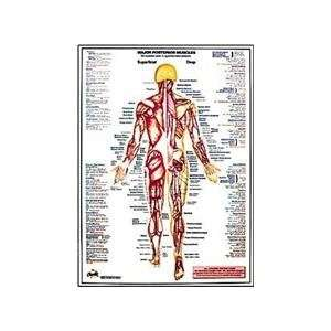 Charts Major Posterior Muscles Chart: Sports & Outdoors